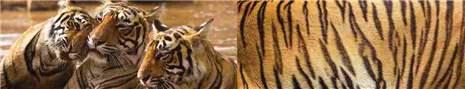 арт.№ 268  (Фотофартук- Fauna tigers 8)