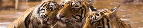 арт.№ 269  (Фотофартук- Fauna tigers 9)